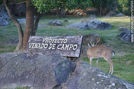 Venado de campo - Photos of Piriapolis - Department of Maldonado - URUGUAY. Image #65996