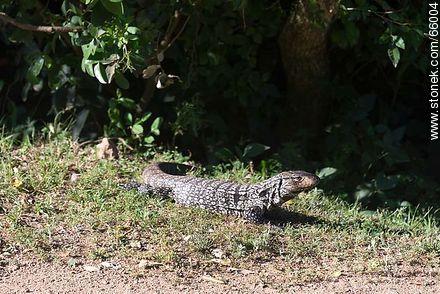 Lizard - Photos of Piriapolis - Department of Maldonado - URUGUAY. Image #66004