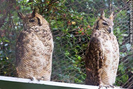 Owls - Photos of Piriapolis - Department of Maldonado - URUGUAY. Image #65955