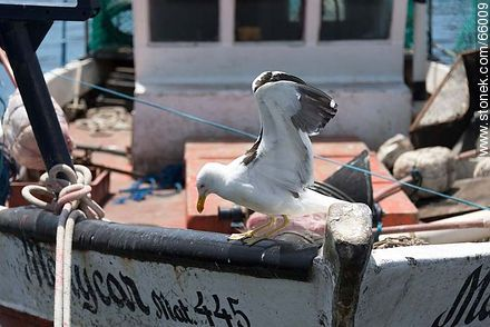 Seagull on a fishing boat - Photographs of the port of Punta del Este, URUGUAY. Image #66009