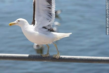 Seagull - Photographs of the port of Punta del Este, URUGUAY. Image #66007