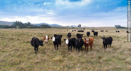 Cattle in the field - Photos of cows and bulls - Fauna - MORE IMAGES. Image #66049