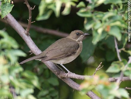 Female Sabiá. Creamy-bellied thrush - Photos of birds - Fauna - MORE IMAGES. Image #66666