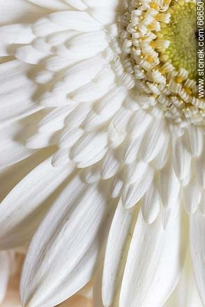 Daisy with white petals - Photos of flowers - Flora - MORE IMAGES. Image #66650