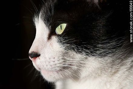 Black and white cat - Photos of cats - Fauna - MORE IMAGES. Image #66649