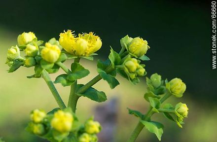 Rue in flower - Photos of flowers - Flora - MORE IMAGES. Image #66660