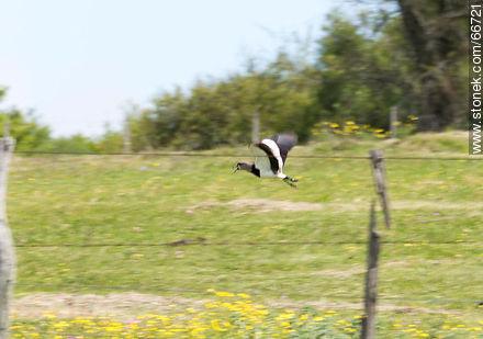 Tero in flight - Photos of birds - Fauna - MORE IMAGES. Image #66721