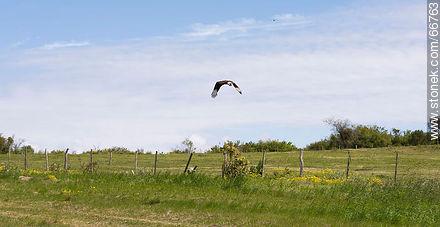 Carancho - Photos of birds - Fauna - MORE IMAGES. Image #66763