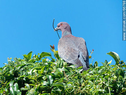 Picazuro pigeon with a branch on its beak building a nest - Photos of birds - Fauna - MORE IMAGES. Image #66788