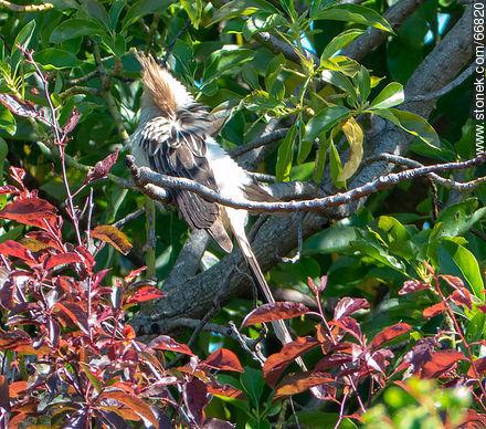 Guira cukoo on a avocado tree - Photos of birds - Fauna - MORE IMAGES. Image #66820