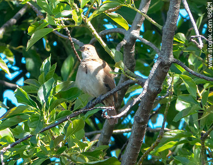 Ovenbird on a avocado tree - Photos of birds - Fauna - MORE IMAGES. Image #66821