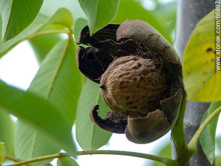 Common walnut tree, fruit and seed - Photos of fruits - Flora - MORE IMAGES. Image #66807