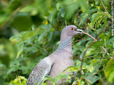 Picazuro pigeon with a branch on its beak building a nest - Photos of birds - Fauna - MORE IMAGES. Image #66794