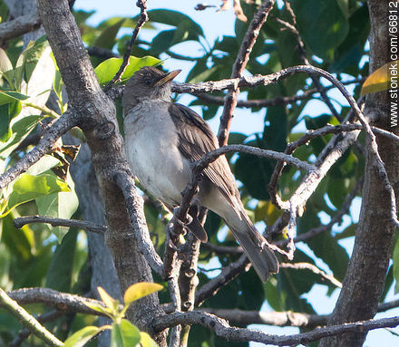 Male Sabia - Photos of birds - Fauna - MORE IMAGES. Image #66812