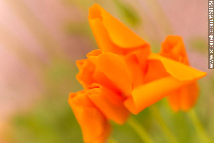 California poppy, golden poppy, California sunlight, cup of gold - Photos of flowers - Flora - MORE IMAGES. Image #66829
