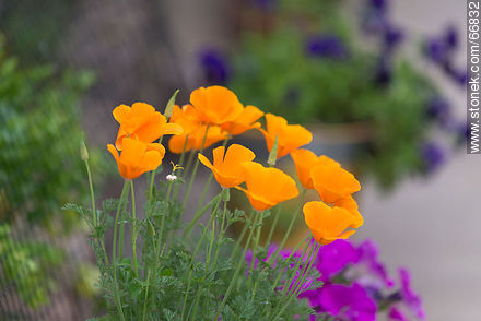 California poppy, golden poppy, California sunlight, cup of gold - Photos of flowers - Flora - MORE IMAGES. Image #66832