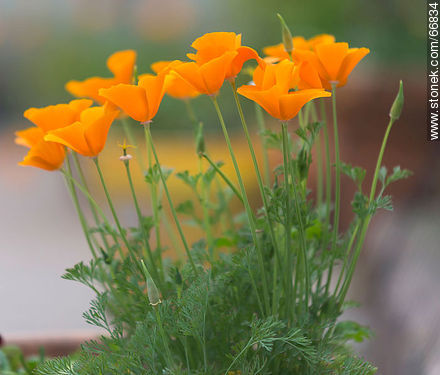California poppy, golden poppy, California sunlight, cup of gold - Photos of flowers - Flora - MORE IMAGES. Image #66834