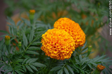 French marigold - Photos of flowers - Flora - MORE IMAGES. Image #66785