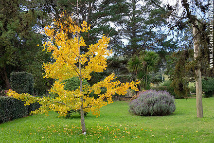 Yellow ginkgo biloba in autumn - Photos of plants - Flora - MORE IMAGES. Image #67416
