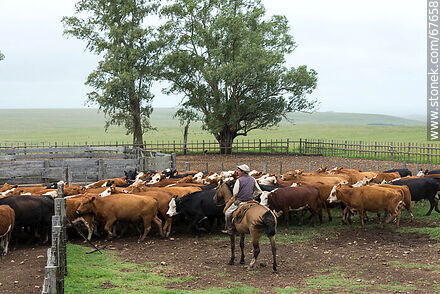 Herding cattle - Photos of cows and bulls - Fauna - MORE IMAGES. Image #67658