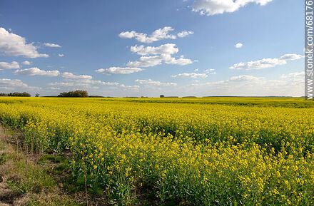 Canola plantation on Route 14 - Variety of photos of Dept. of Flores - Flores - URUGUAY. Image #68176