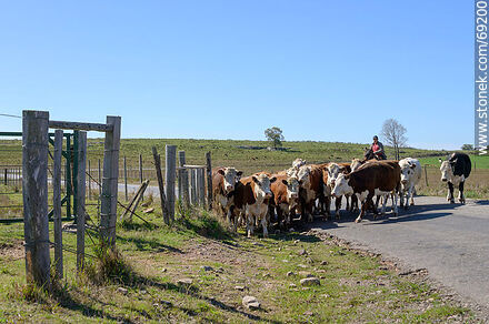 Herding cattle - Photos of cows and bulls - Fauna - MORE IMAGES. Image #69200