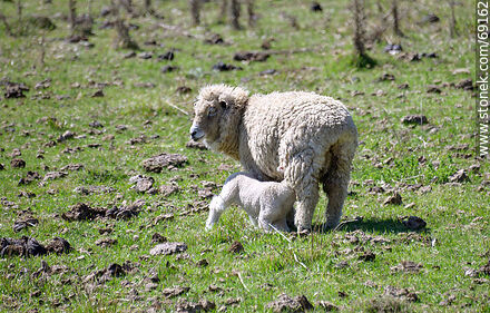 Sheep with their lambs - Photographs of fauna not sorted - Fauna - MORE IMAGES. Image #69162