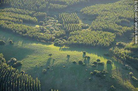 Woods of eucaliptus - Photos of the Uruguayan Countryside - URUGUAY. Image #29878