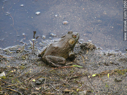 Bull frog male. Allamuchy Mountain. - Photos of Sussex County - State ofNew Jersey - USA-CANADA. Image #12550