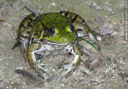 Frog - Photos of the Hunterdon County - State ofNew Jersey - USA-CANADA. Image #12579