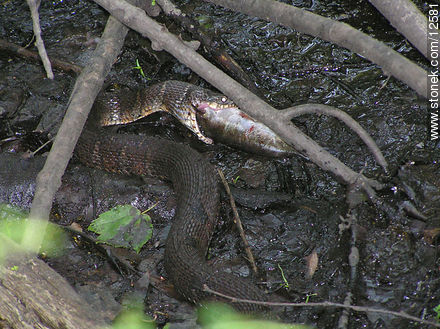 Snake wolfing an entire fish down - Photos of Sussex County - State ofNew Jersey - USA-CANADA. Image #12581