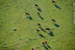 Foto #29847 - Cows in the green field. Shadows from the air