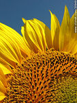 Foto #30946 - Sunflower