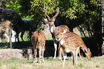 Photo #32332 - Lecocq zoo. Chital or cheetal (Axis axis), also known as chital deer, spotted deer or axis deer.
