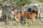 Photo #32333 - Lecocq zoo. Chital or cheetal (Axis axis), also known as chital deer, spotted deer or axis deer.
