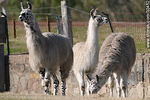 Photo #32452 - Lecocq zoo park. Group of llamas.