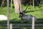 Parque Lecocq.  Addax, antílope africano.  - Foto #32331