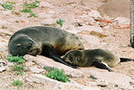 Foto #32977 - Female sea wolf or sea lion and its baby