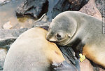 Foto #32973 - Female sea wolf or sea lion breastfeeding its baby.