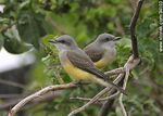Photo #34103 - Tropical Kingbird