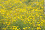 Photo #35689 - Yellow flowers field