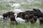 Photo #37419 - White-faced ibis and Snowy Egrets