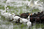 Photo #37417 - White-faced ibis and Snowy Egrets