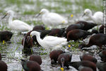 Photo #37416 - White-faced ibis and Snowy Egrets