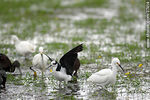 Photo #37414 - White-faced ibis, Snowy Egret and White-backed stilt.