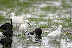 Foto #37413 - White-faced ibis, Snowy Egret and White-backed stilt.
