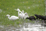 Foto #37404 - White-faced ibis and Snowy Egrets