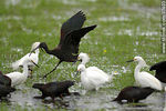 Photo #37403 - White-faced ibis and Snowy Egrets