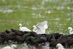 Foto #37402 - White-faced ibis and Snowy Egrets