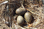 Photo #38730 - Segull nest and eggs.